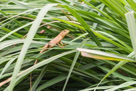 the asia little lizard