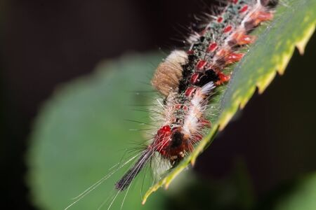 tomato caterpillar: worm on leaf