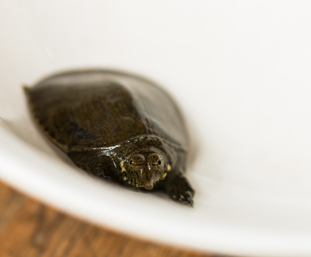 small reptiles: snapping turtle Stock Photo