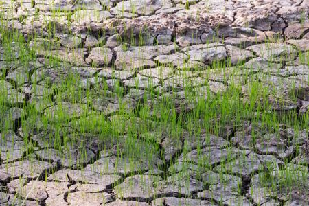 parting: Seedlings in dried field
