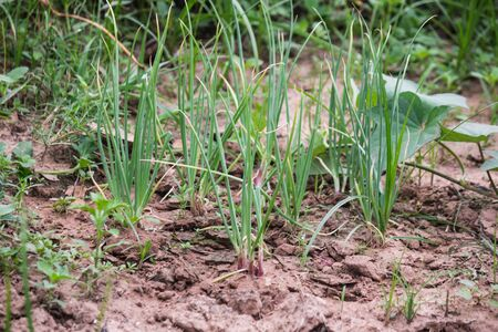 cebolla: planta de cebolla en el jardín