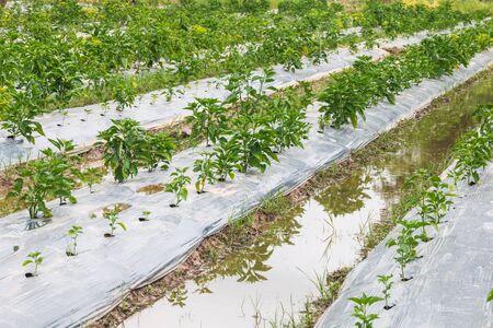 bush pepper: chili plant in garden