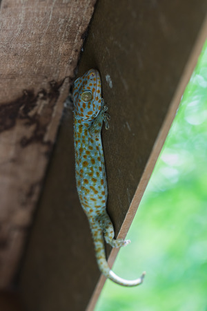 widlife: the gecko on wood Stock Photo