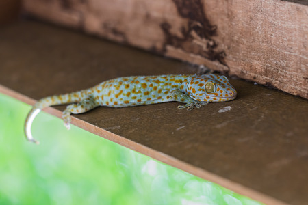 stealth: the gecko on wood Stock Photo