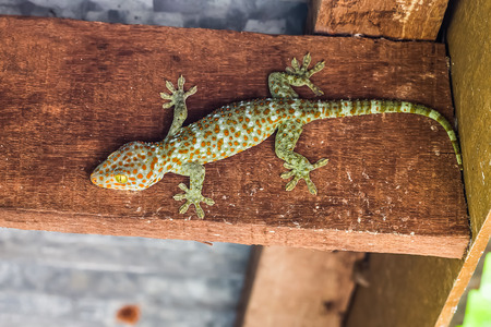 dire: the gecko on wood Stock Photo