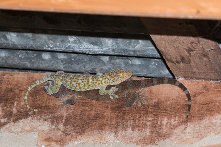 dire: the gecko on roof