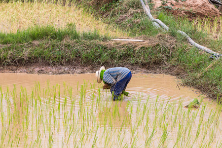 paddy field: agriculturist transplant rice seedlings in paddy field