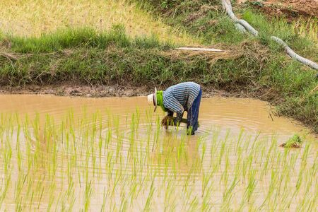 peasantry: agriculturist transplant rice seedlings in paddy field