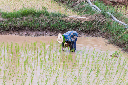 transplant: agriculturist transplant rice seedlings in paddy field