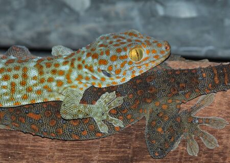 widlife: the gecko on roof