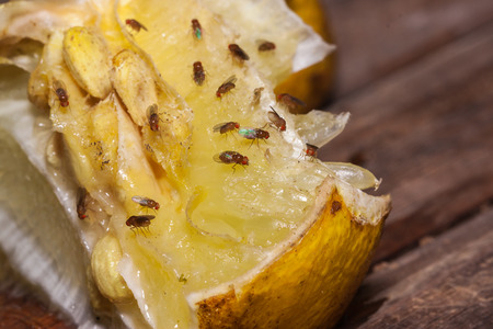 syrphid fly: fruit fly on lemon