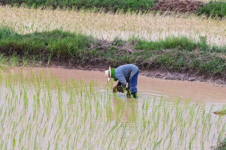 agriculturist: agriculturist transplant rice seedlings in paddy field