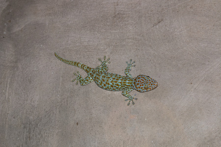 the gecko on the wall Stock Photo