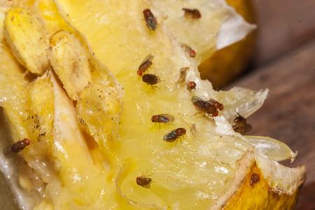 fruit fly on lemon