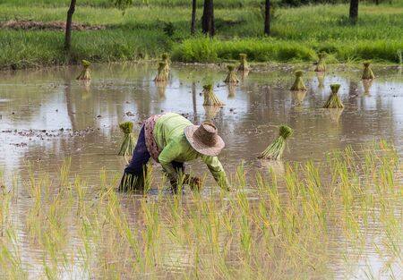 transplant: farmer transplant in the paddy field