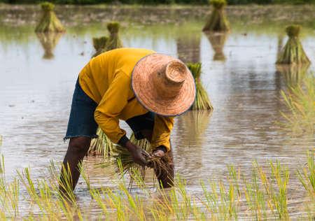 paddy field: farmer transplant in the paddy field