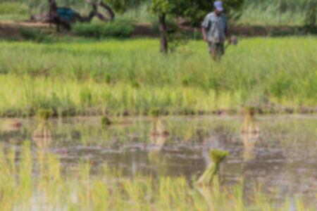 paddy field: soft blur paddy field