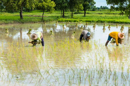 peasantry: farmer transplant in the paddy field
