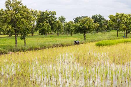 transplant: farmer transplant in the paddy field