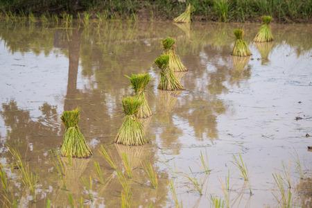 paddy field: rice seedlings in paddy field Stock Photo