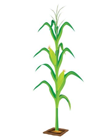 countryman: corn plant vector design