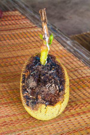 rot: rot jackfruit Stock Photo