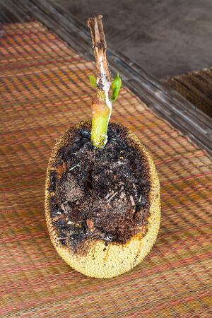rot jackfruit Stock Photo