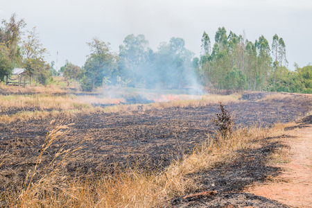 paddy field burned by fire after harvest