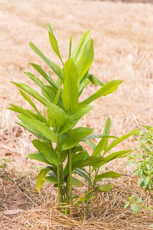 galangal oil plant in garden Stock Photo