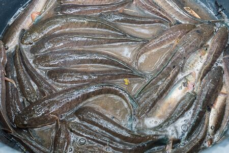 snakehead: striped snakehead fish Stock Photo