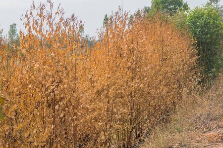 aridness: dried eucalyptus plant at countryside Stock Photo