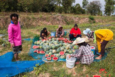khamin: KALASIN, THAILAND - DEC 16 : Agriculturist harvest watermelon in garden on December 13,2016 in Ban Khamin, Kalasin Province, Thailand.