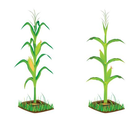 maïs plant vector ontwerp