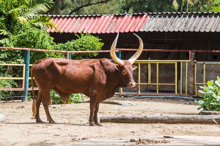 bullock: brown cow Stock Photo