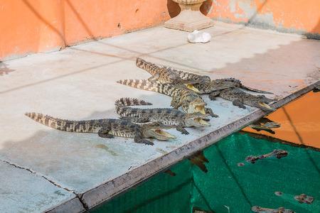 felonious: Freshwater crocodile