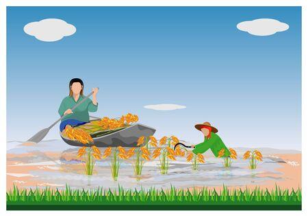 Farmer harvest rice in flood