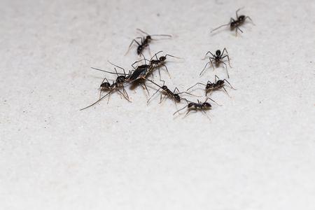 many black ants with food 免版税图像
