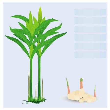 galangal plant vector design Illustration