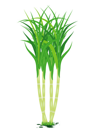 sugarcane plant vector design Illustration