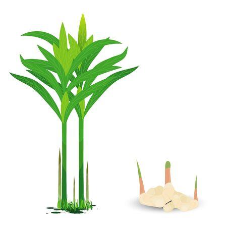galangal plant vector design Stock Vector - 89971403