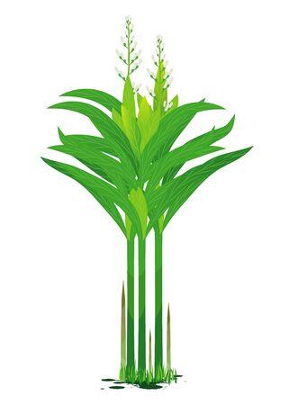 Galangal vegetable plant illustration. Stock Vector - 90864244