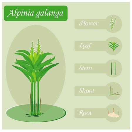 Galangal vegetable plant illustration with parts design Illustration