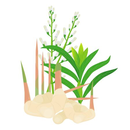 Galangal vegetable plant illustration design
