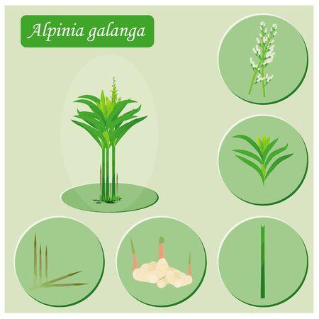 Galangal vegetable plant illustration with parts design. Illustration
