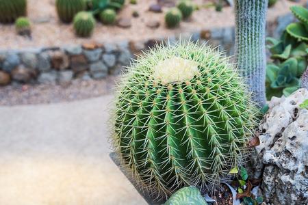 cactus in garden Stock Photo