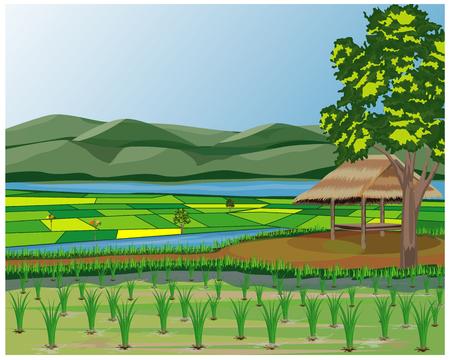 disegno vettoriale risaia Vettoriali