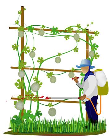 agriculturist sprays melon plant vector design Illustration