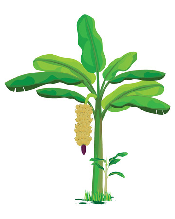 banana plant vector design