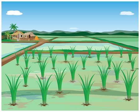 rice plant in paddy field vector design