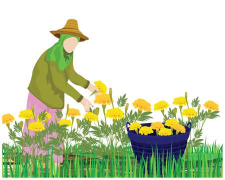 agriculturist harvest marigold flower in garden vector design